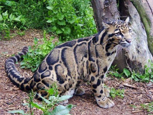 leopardo nebuloso