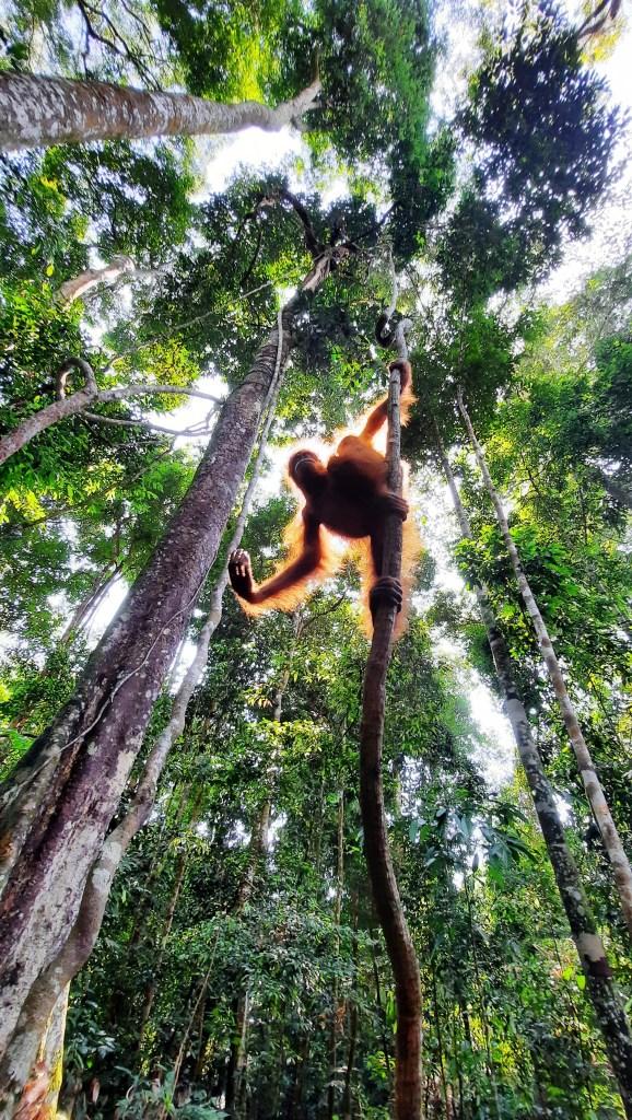 orango e alberi