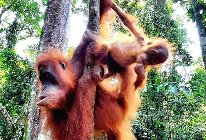 femmina di orango e piccolo
