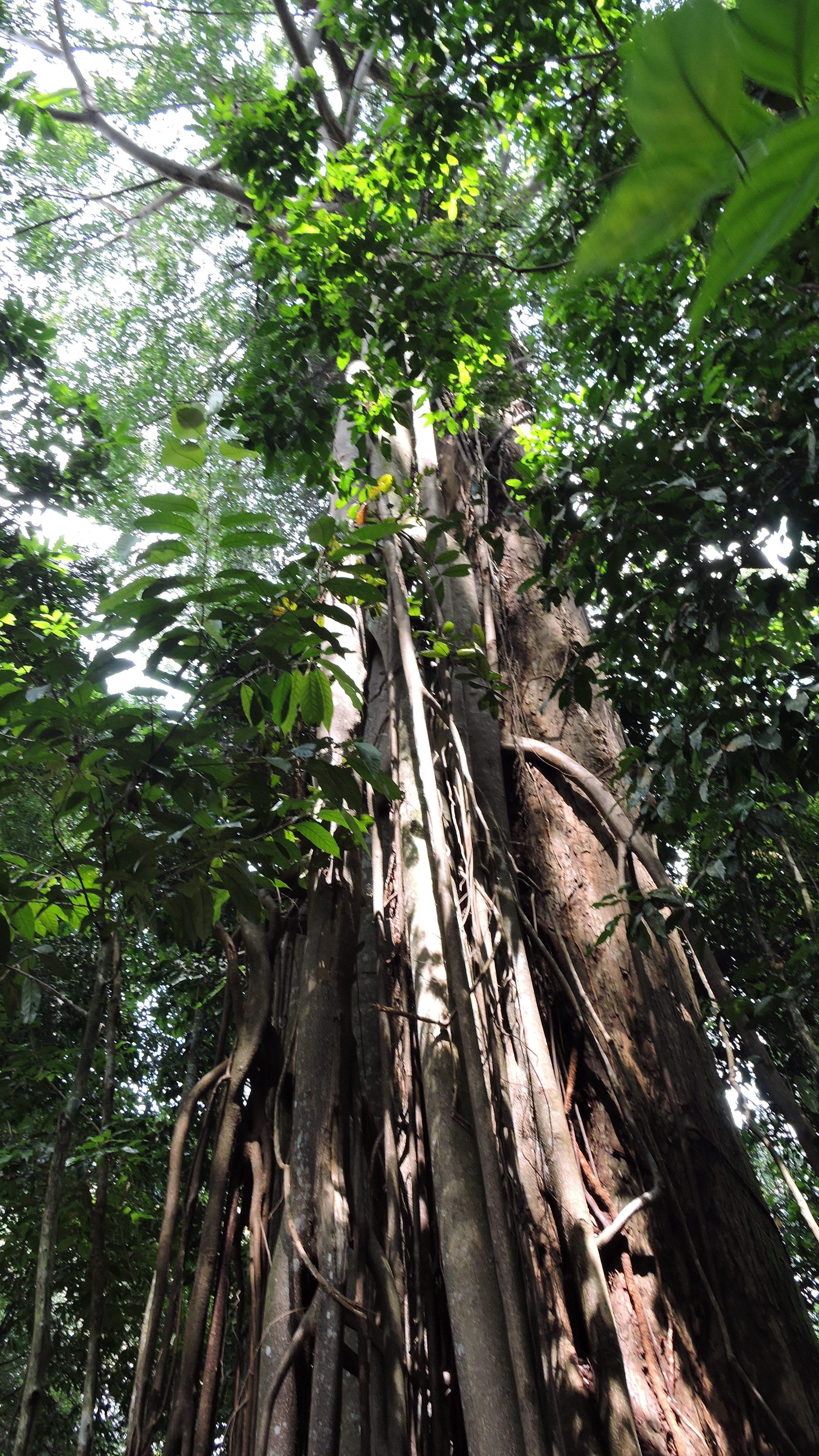 alberi immensi