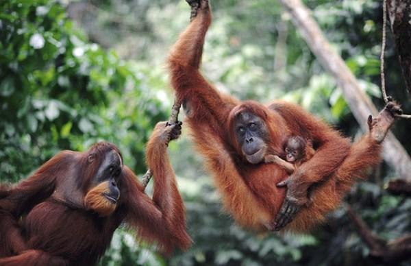 Sumatra orangutans