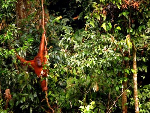 Sumatra Travel: See Sumatran Orangutans at Bukit Lawang