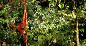 Bukit Lawang Orangutan Rehabilitation Centre