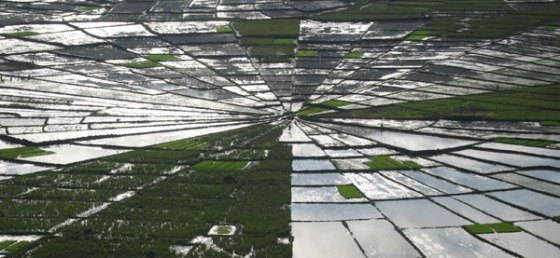 Flores Island, Indonesia Spider Web Rice Fields in Flores, Indonesia