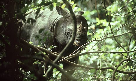 Javan rhinoceros in Ujung Kulon National Park, Java, Indonesia