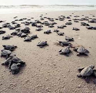 Jonge schildpadjes op weg naar de zee - Serangan Turtle Conservation and Education Center