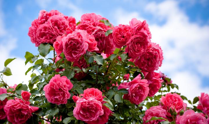 ば_薔薇の消毒