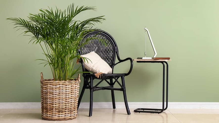 15 types of palm plants to grow indoors