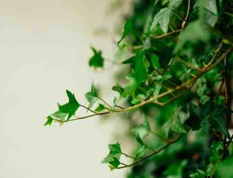 Hedera Helix – How to Care for English Ivy