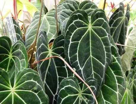 Crystal Anthurium – Anthurium Crystallinum Care