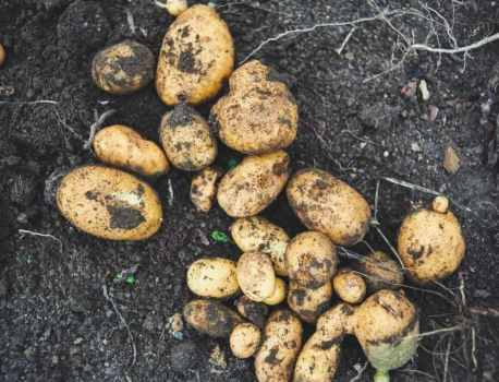 When to Harvest Potatoes – Know Your Vegetables
