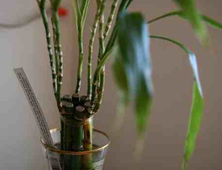 How to Care for Bamboo Plant – Growing, Propagating, Repotting, and More!