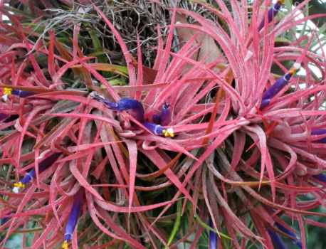 Tillandsia Ionantha – Complete Air Plant Care Guide
