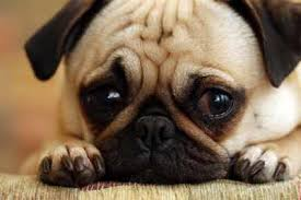 Mengapa Anjing Menangis