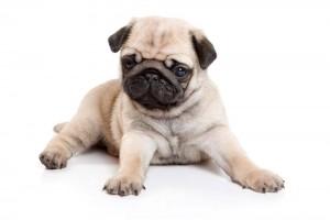 Ras Anjing yang Bisa Dipelihara