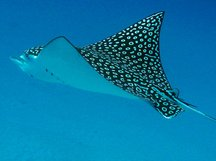 eagleray7r