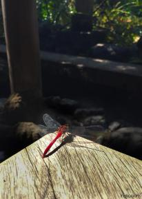 Around Japan - Dragonfly in Nagamachi Samurai District by Matias Masucci