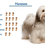 Havanese Dog Breed Everything You Need To Know At A Glance