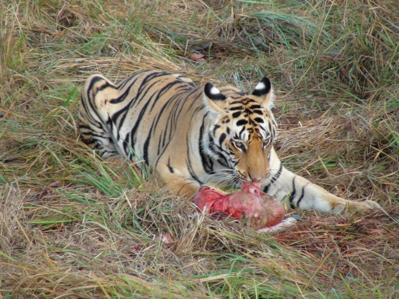 Tiger in Kanha Tiger Reserve (Image: SP Yadav)