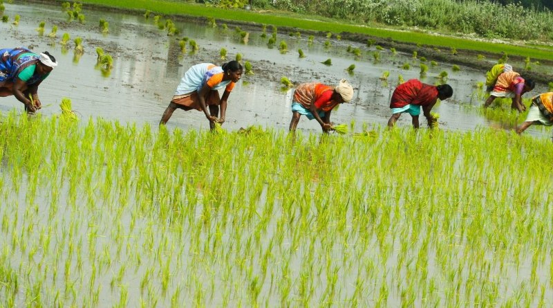 Scientists Develop Salt Tolerant Rice Variety