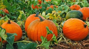 Sprinklers may interfere with pumpkin pollination, reduces agricultural yield
