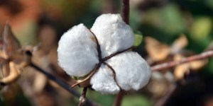 cotton | Indus Dictum