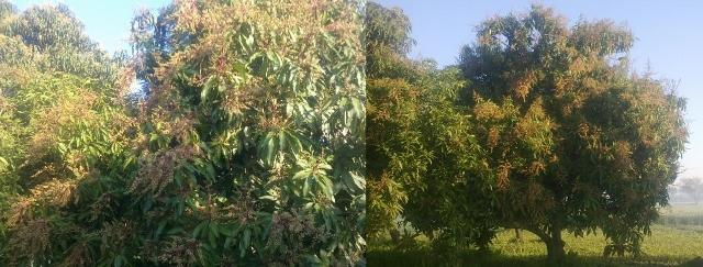 Mangoes trees (640x243)