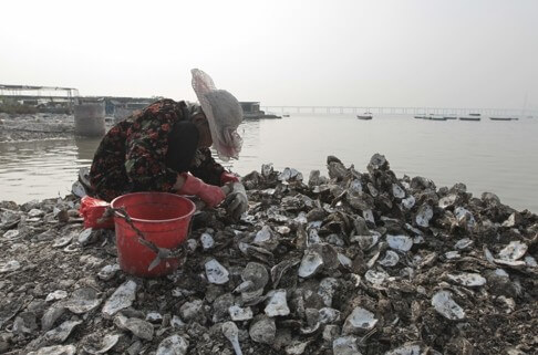 Oyster beds, Lau Fau Shan, SCMP snipped image b 17.1.15