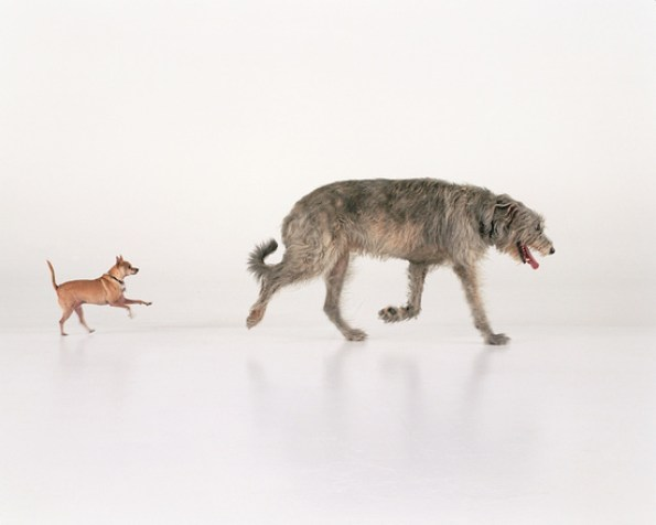 An Irish Wolf Hound and a Chihuahua at play in an art gallery with white floors and walls