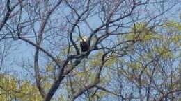 Eagles, Plum Island. Lake Michigan