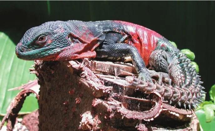 以中美洲為首的刺尾鬣蜥家族 將全部進入CITESⅡ附錄
