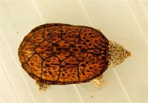 滿身虎紋傲嬌的烏龜,一隻竟賣到一兩千!你見過這種奇特的龜嗎?