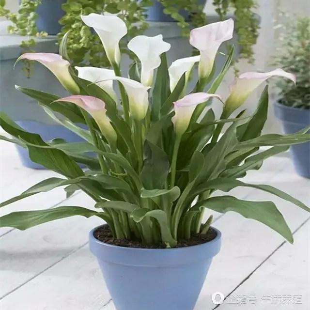 馬蹄蓮植物盆栽方法和養殖護花知識,養花愛好者可以看看