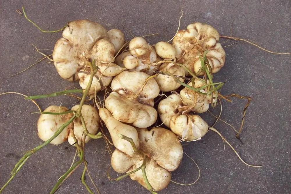 南方古怪水果,而不是紅薯。那么地瓜也不是薯類的統稱或俗稱。求專家指正。_百度知道