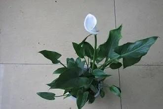 馬蹄蓮:代表著高貴、純潔與永恆,馬蹄蓮的盆栽養殖方法