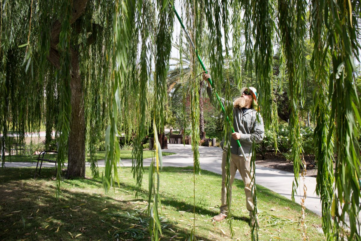 Arborist Tyler Hajosy trims a willow at San Diego State University. Water, sun protection and EMT training help him withstand daily heat. Oct. 7, 2016. Meg Wood/inewsource