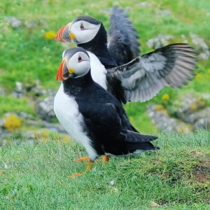 Tour Iona to spot puffins, black and white birds with orange beaks