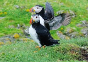 Two puffins observe their surroundings
