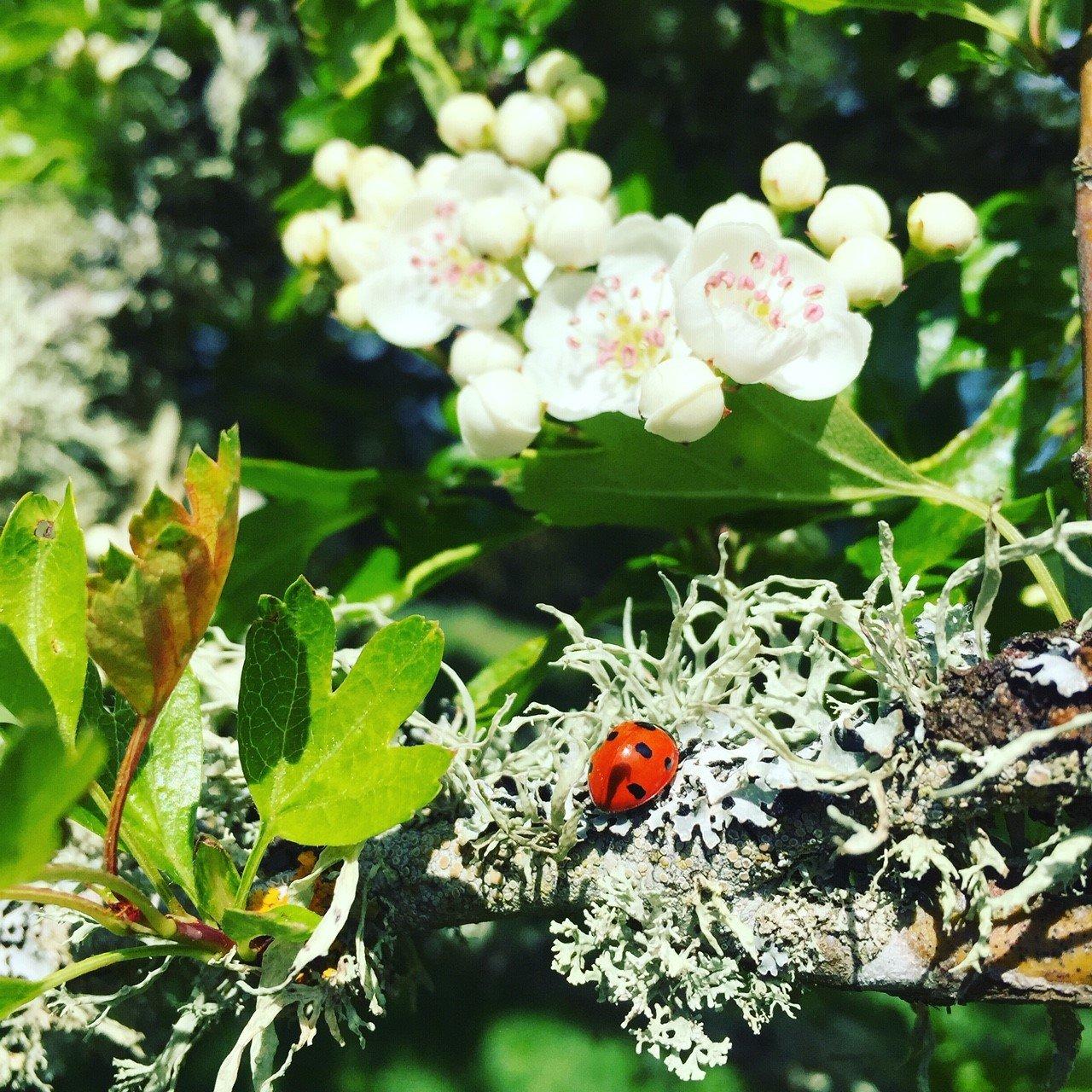 Ladybird Hawthorn Lichen