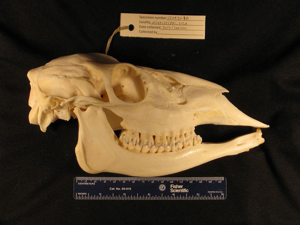 Animal Skull Id Using Teeth