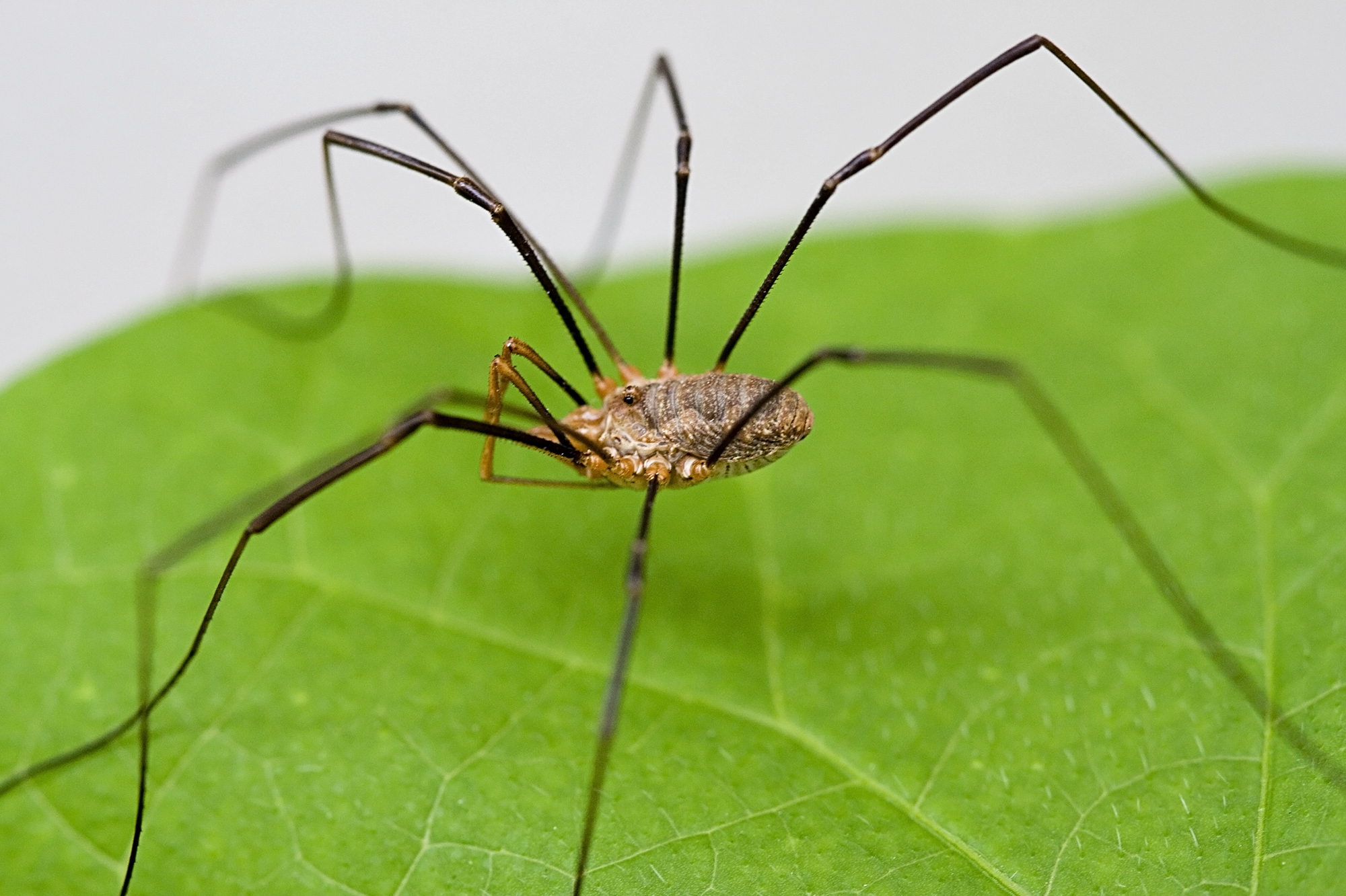 Image result for daddy long legs spider up close