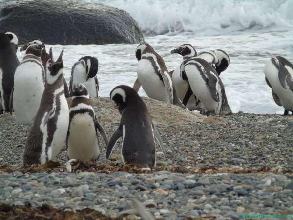 Punta Arenas y los pingüinos magallánicos