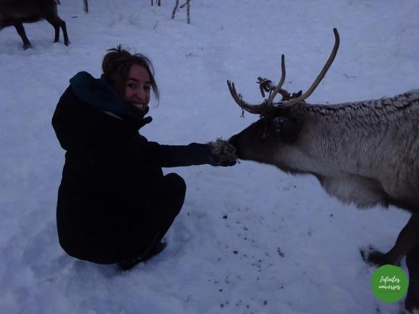 Dando de comer a los renos Renos sami Laponia noruega