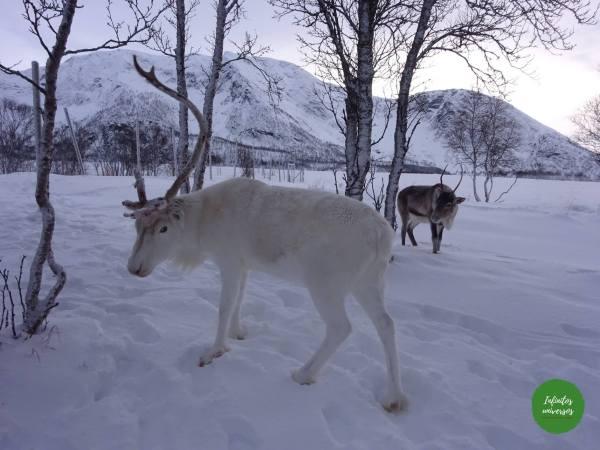 Renos sami Laponia noruega