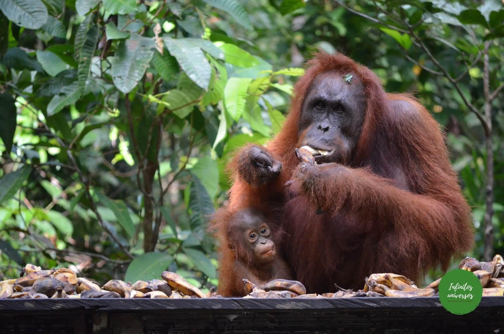 Orangutanes en borneo parque nacional tanjung puting