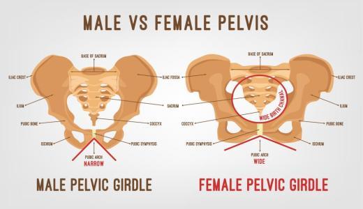 男性と女性の骨盤の違いとは
