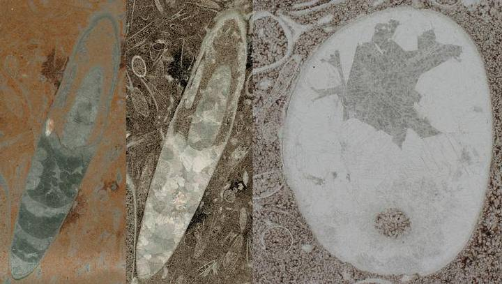 Cephalopods Maybe 30 Million Years Older Than Thought Reveals Fossils
