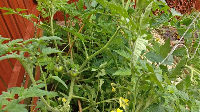 tomatoes having grown and fruited
