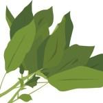 モロヘイヤの茎に毒? 食べても大丈夫な理由とその食べ方