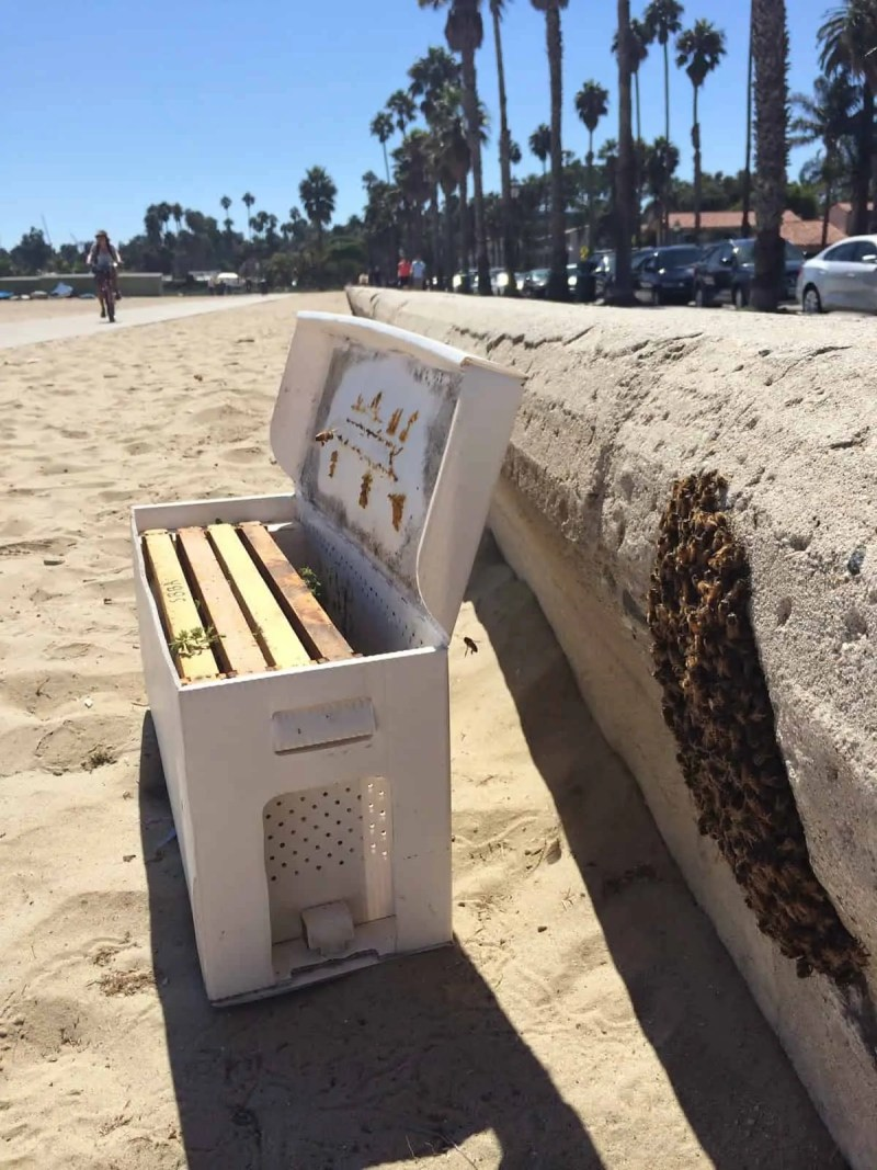 Bees at the Beach Rescue